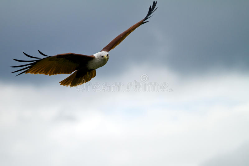 Eagle gliding with copy space on the right stock photography