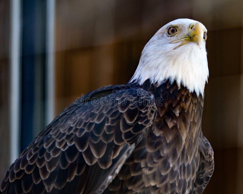 Eagle grincheux images libres de droits