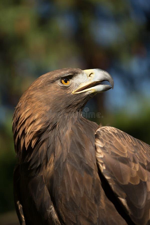 Eagle Haliaeetus-albicilla auf Hintergrund des grünen Grases lizenzfreie stockbilder