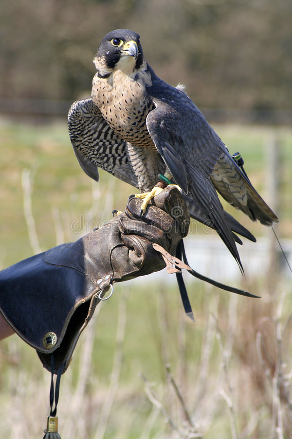 Eagle And Handler Stock Image