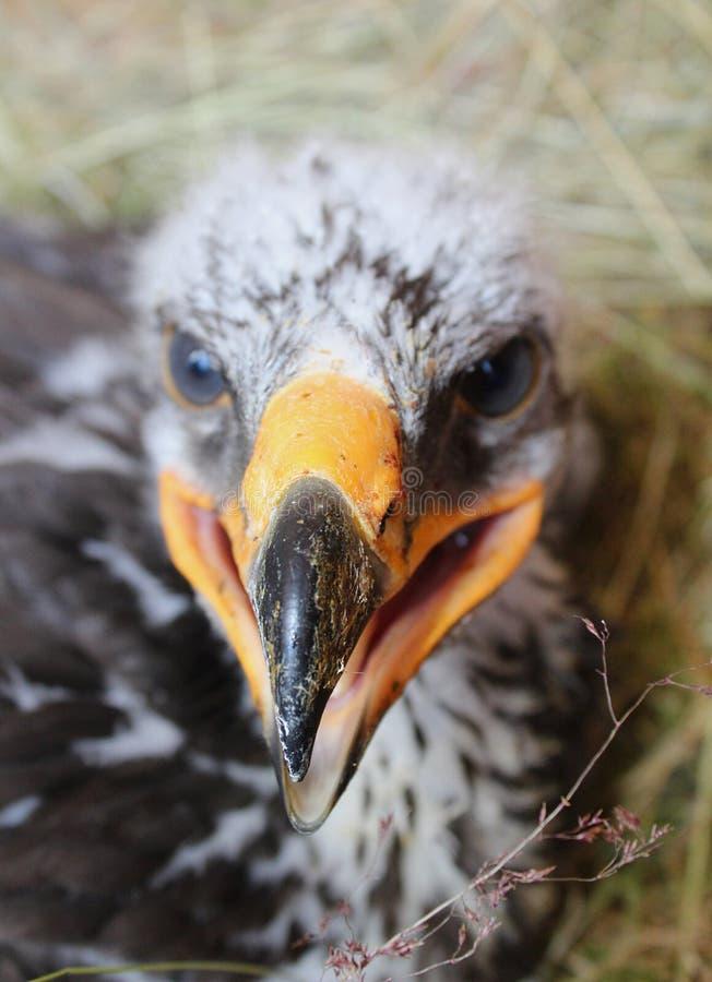 Eagle Hatchling I photos libres de droits