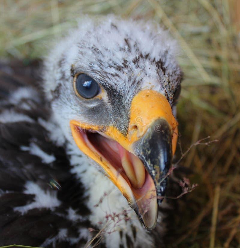 Eagle Hatchling II photo stock