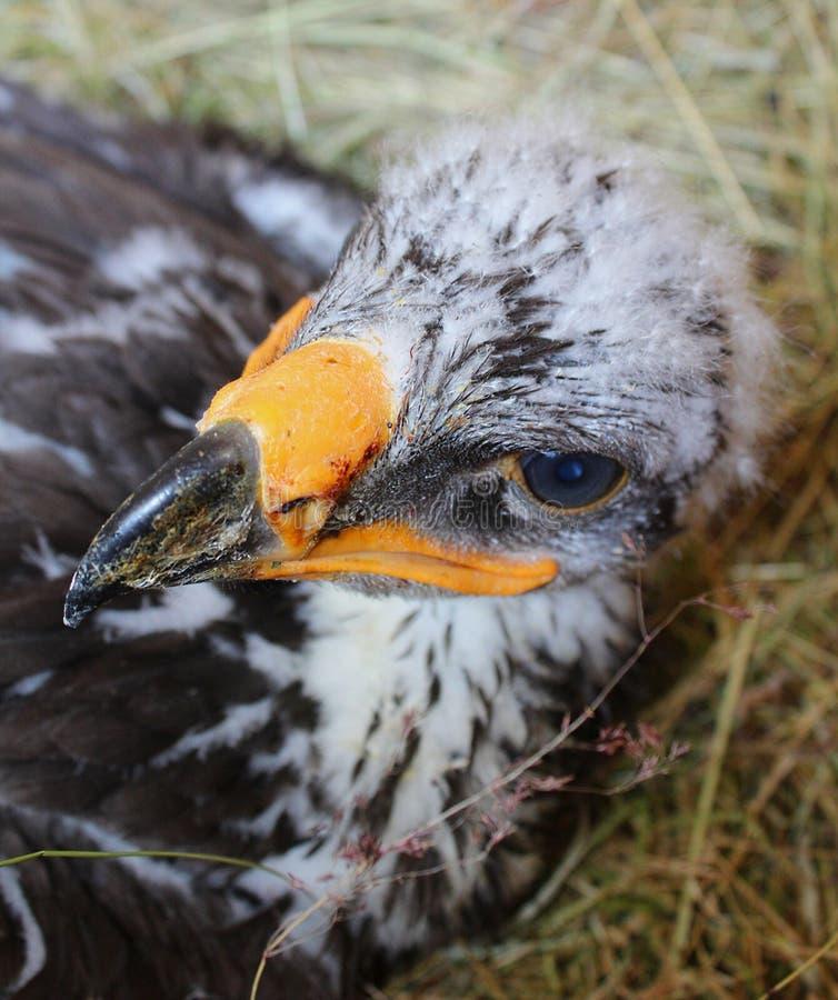 Eagle Hatchling III photo libre de droits