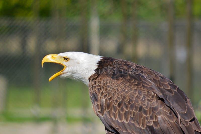 Eagle head. In bright sunlight stock image