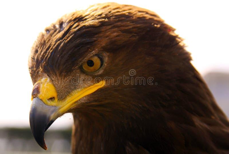 Eagle head looking down. Wild eagle stares at pray royalty free stock photos