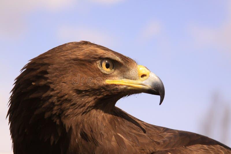 Eagle head. Wild eagle stares at pray royalty free stock photo