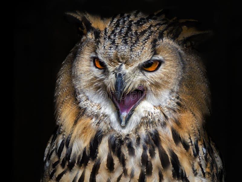 Eagle-hibou images libres de droits