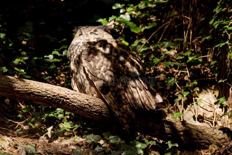 Eagle-hibou d'Urasian se reposant sur l'arbre image libre de droits