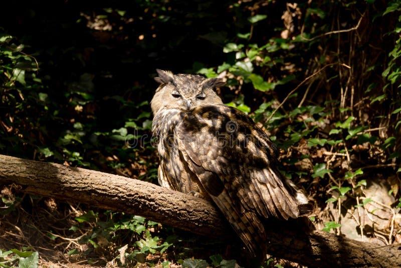 Eagle-hibou d'Urasian se reposant sur l'arbre photographie stock