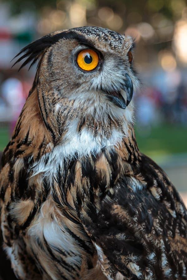 Eagle-hibou de Buff Eurasian, thème d'oiseaux photos libres de droits