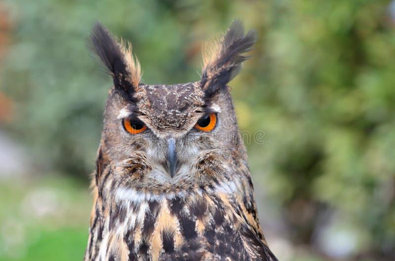 Eagle-hibou eurasien photographie stock