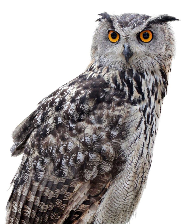 Eagle-hibou indien photos stock