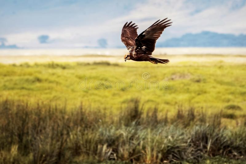 Eagle hunting in the crater of Ngorongoro. Africa. Tanzania stock photography