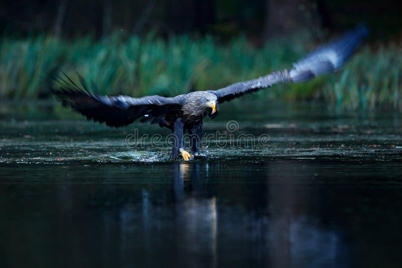 Eagle Hunting Eagle i fluga ovanför den mörka sjön Vit-tailed Eagle, Haliaeetusalbicillaen, flyg över - bevattna floden, fågel av royaltyfri bild