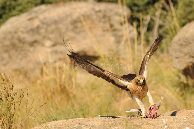 Eagle in a hunting scene stock photography