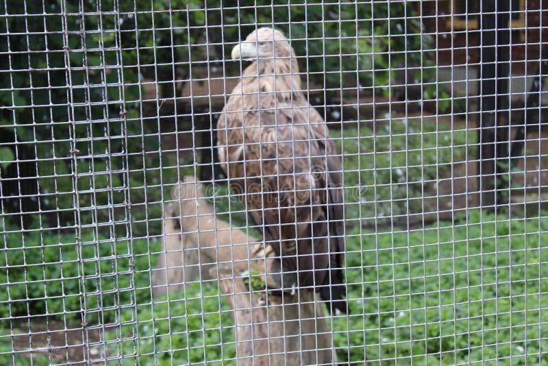 Eagle i en bur i sommaren på zoo av St Petersburg arkivfoto
