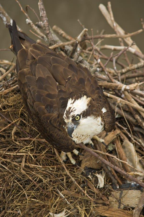 Eagle i ett rede royaltyfri foto