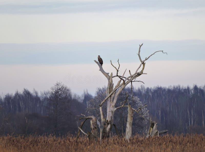 Eagle i gammalt träd royaltyfria bilder