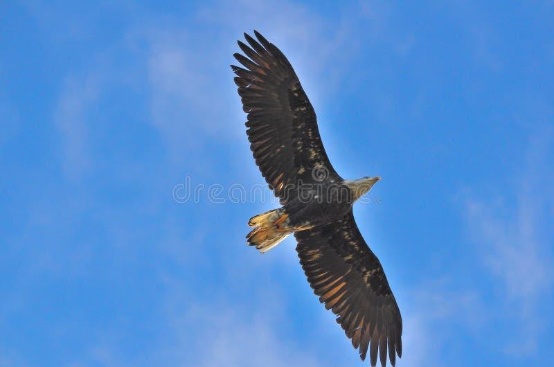 Eagle i hålla ögonen på för himmel fotografering för bildbyråer