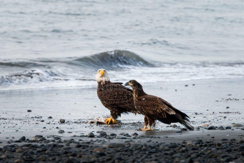 Eagle i potomstwa zdjęcie royalty free