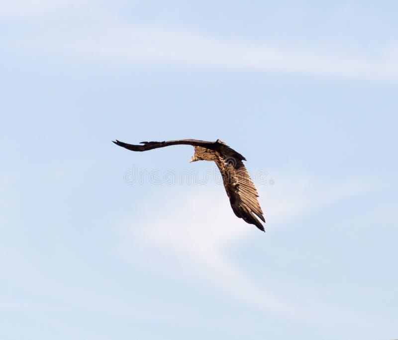 Eagle im Flug stockbilder