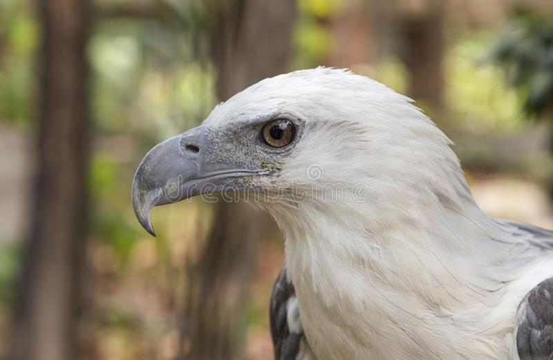 Eagle im Philippinen-Abschluss oben stockbild
