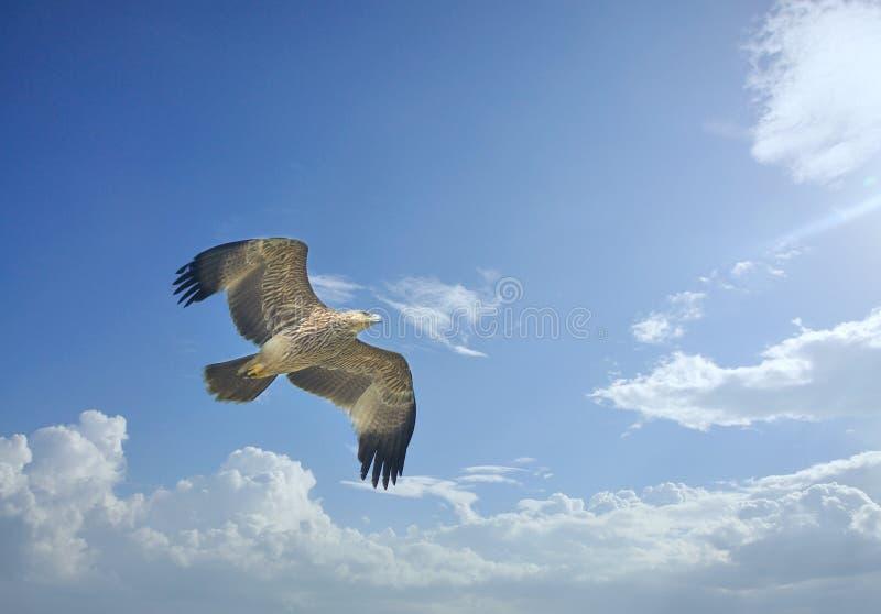 Download Eagle impérial photo stock. Image du blanc, esprit, avien - 45360202