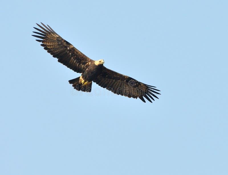 Download Eagle impérial image stock. Image du prédateur, fauconnerie - 45360327