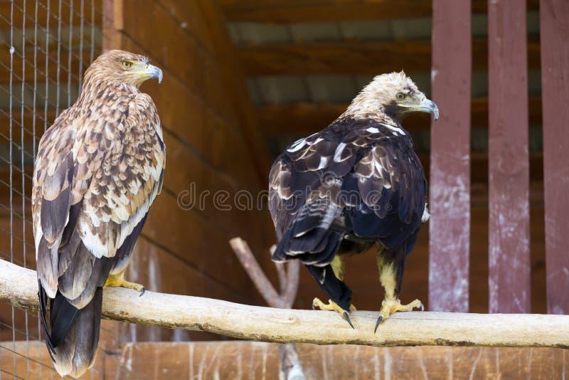 Eagle imperial foto de stock