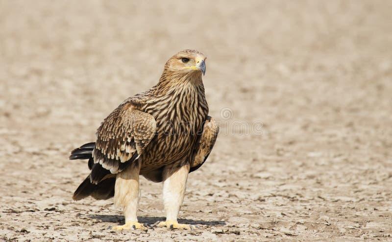 Eagle imperial enorme de Gujarat, Índia fotos de stock royalty free