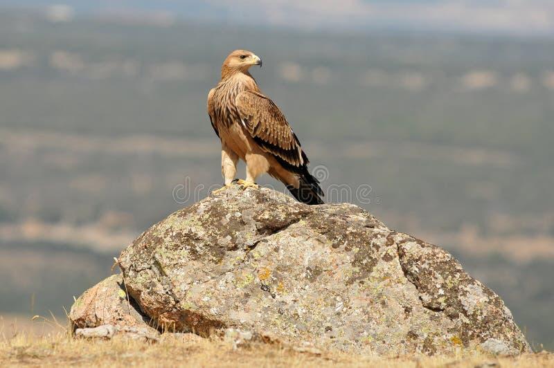 Eagle imperiale fotografie stock libere da diritti