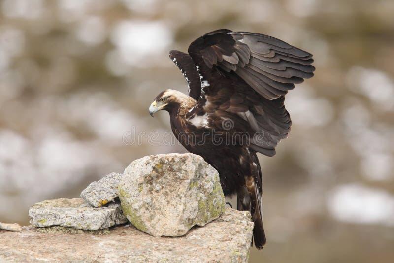 Eagle imperiale spagnolo immagine stock