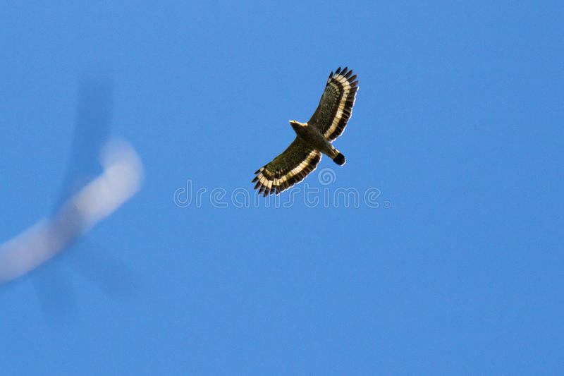 Eagle int he blue sky royalty free stock images