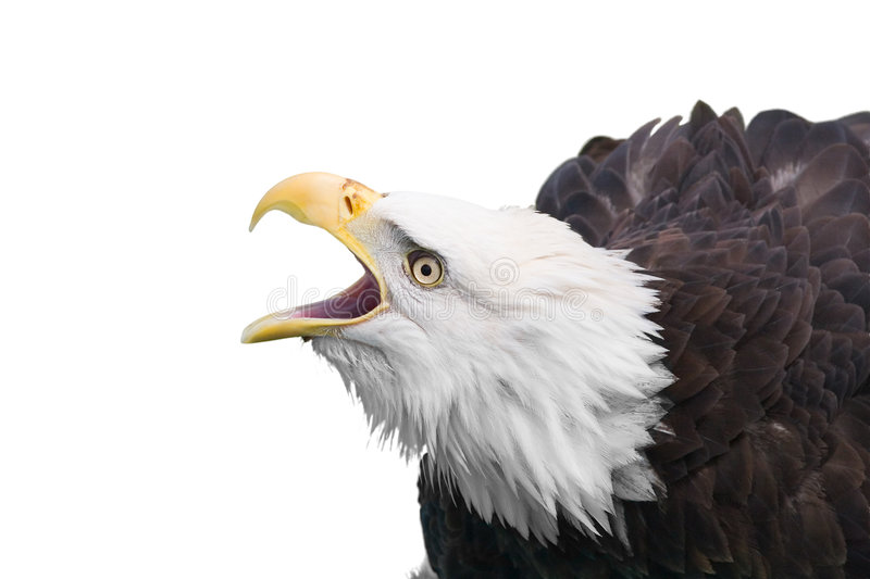 Eagle isolated. Isolated bald eagle stock photography