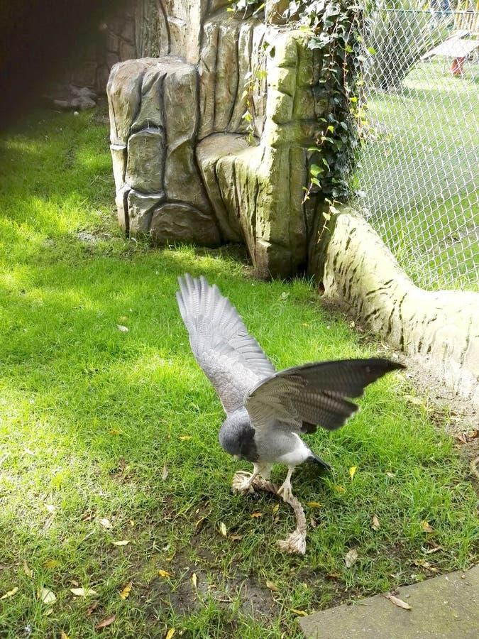 Eagle-Jagd mit offenen Flügeln stockfotos