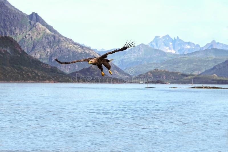Eagle jakt i en norsk fjord fotografering för bildbyråer