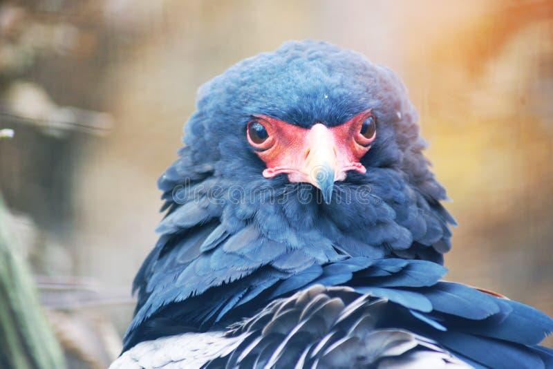 Eagle Juggler royalty free stock image
