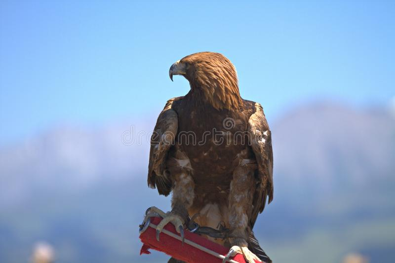 Eagle Kalajun obrazy stock