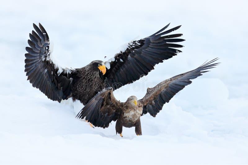 Eagle kamp i vit snö Plats för djurlivhandlinguppförande från naturen Eagle flyg med fisken Härlig örn för hav för Steller ` s, m royaltyfri fotografi