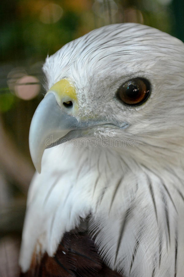 eagle of kingbird royalty free stock images