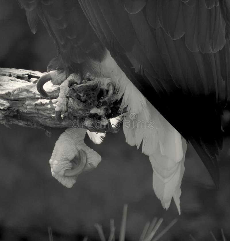 Eagle-klauwen stock foto