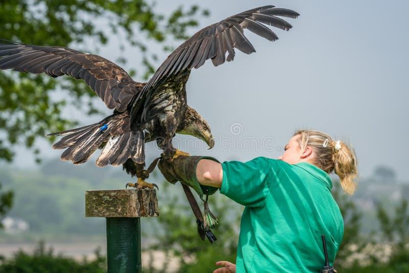 Eagle lądowanie na ptasiej treser ręce obraz royalty free