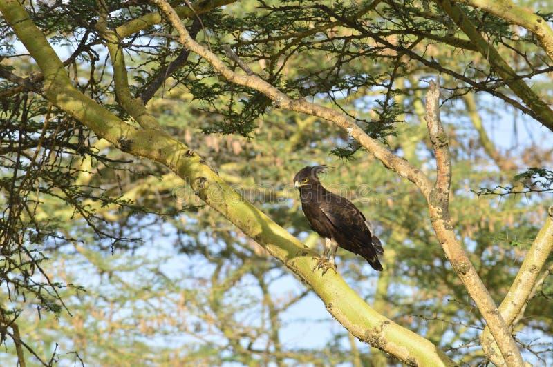 Long Crested Eagle. Lake Nukuru Kenya Africa stock image