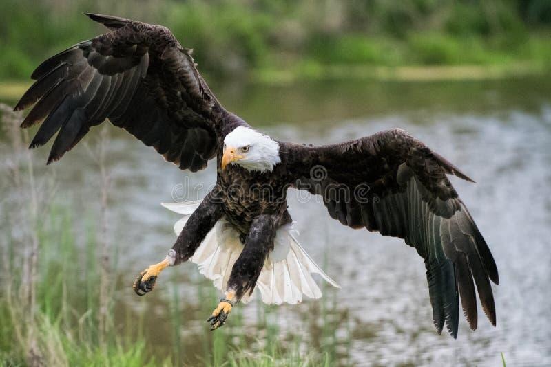 Eagle Landing chauve sur le rivage photographie stock