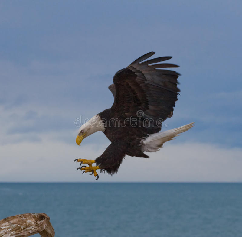 Bald Eagle Landing. A Photo of an American Bald Eagle in Flight with a blue sky and sea background. The eagle is about to land on a perch. It was taken in Homer