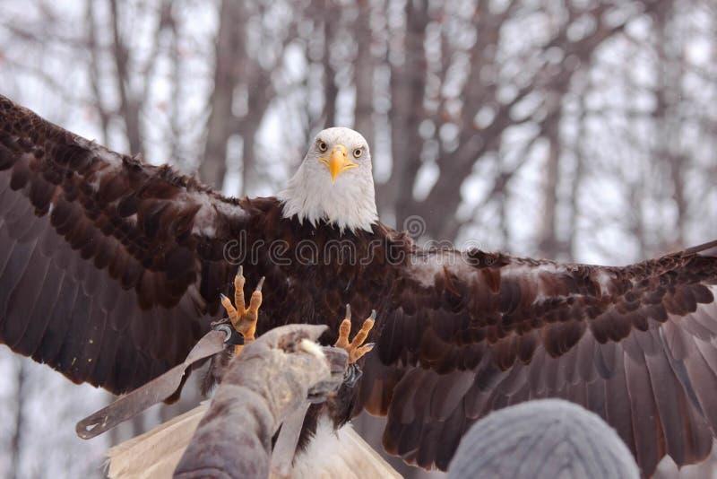 Eagle landning på handen royaltyfria bilder