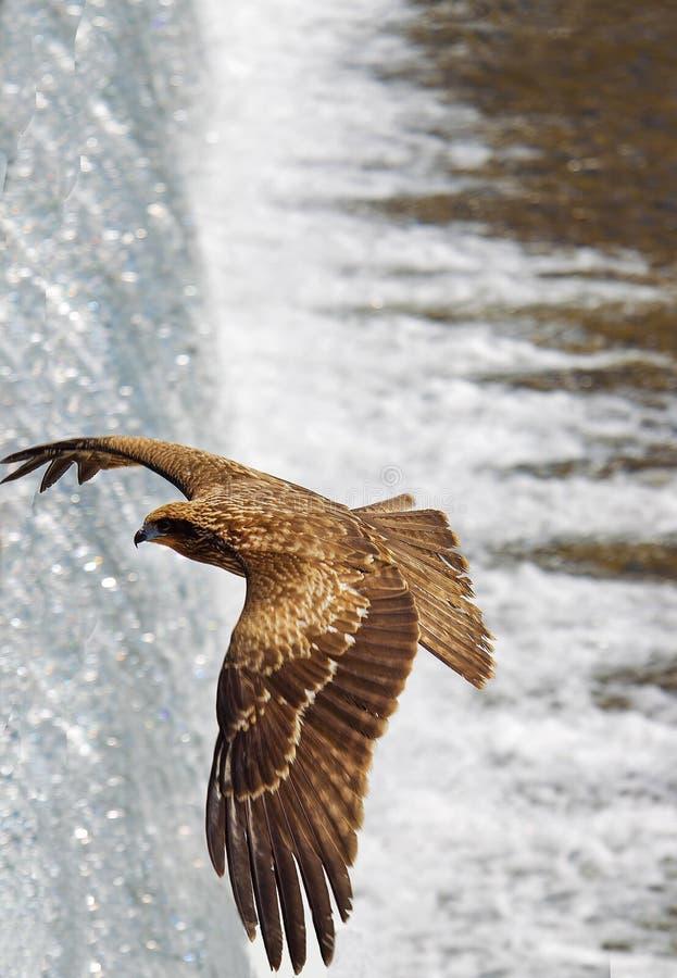 Eagle lata nad małą siklawą na Katsura rzece obraz stock