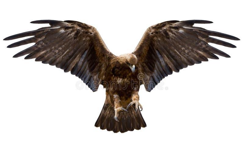 Eagle, lokalisiert stockfoto