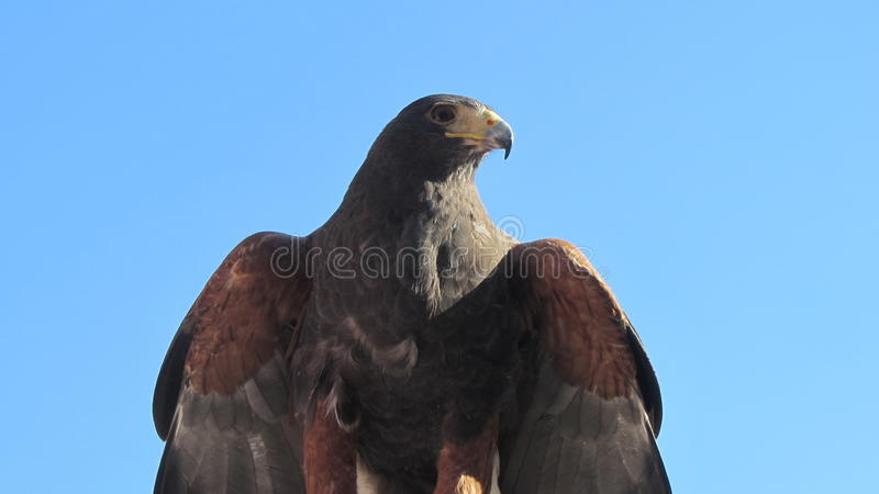 Download The eagle stock photo. Image of eagle, feathers, bird - 63894022