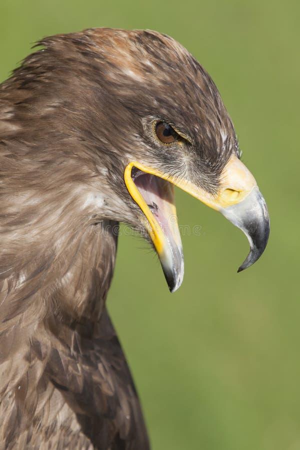 Eagle Looking Down stock afbeeldingen